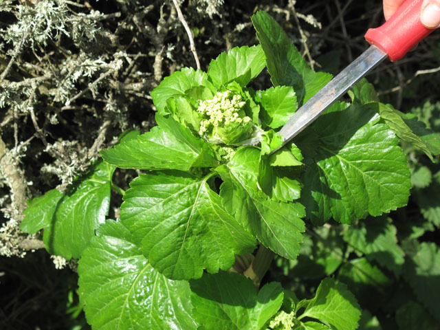 Alexanders young plant 640