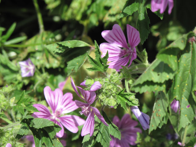 Common mallow 640