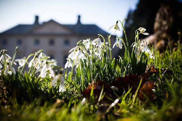 Snowdrops at Pencarrow