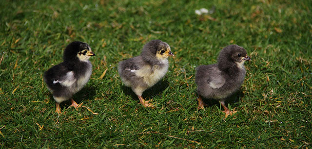 Heligan chicks