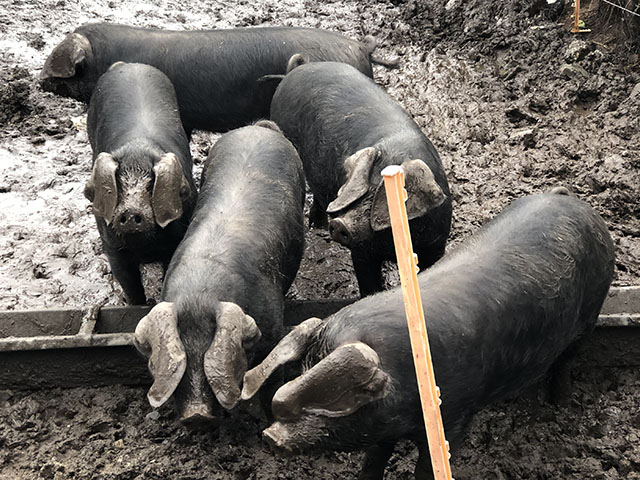 THE WHOLE HOG AT NANCARROW FARM